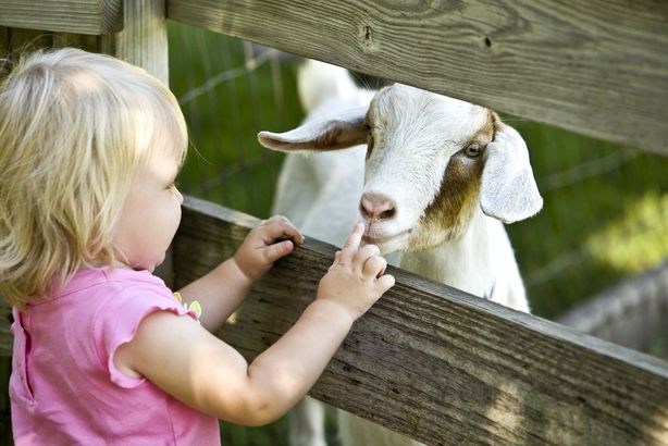 child petting goat in petting zoo