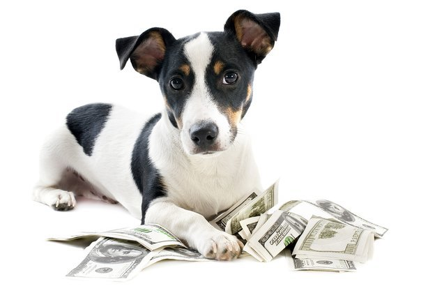 puppy jack russell terrier with $100 dollar bills
