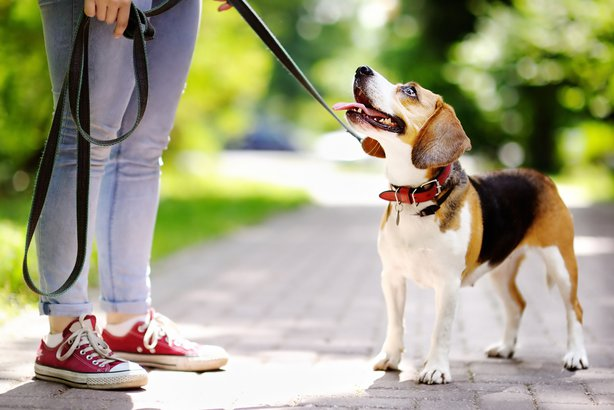 obedient Beagle dog with his owner outside