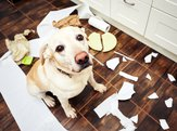 Ashamed dog looking up at camera surrounded by mess in the kitchen