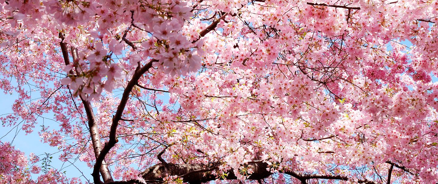 ce8c389bc60 20 Best Places to See Cherry Blossoms