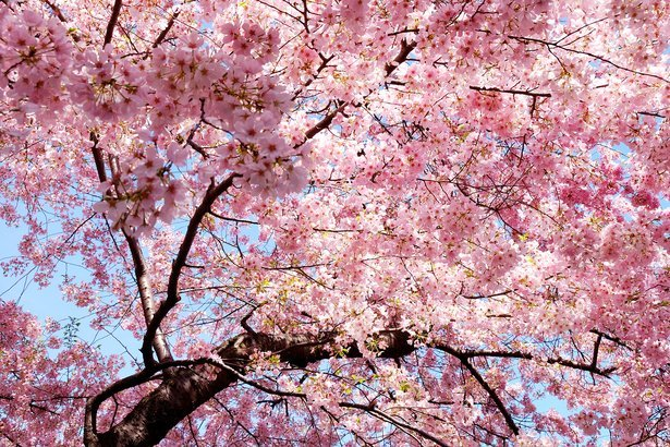 20 Best Places To See Cherry Blossoms Cheapism