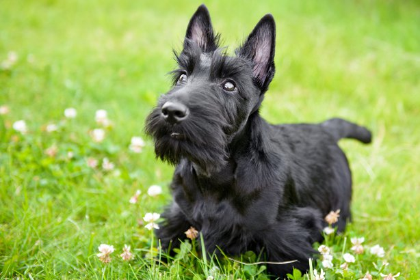 scottish terrier don t dogs that don t shed cheapism com 4196
