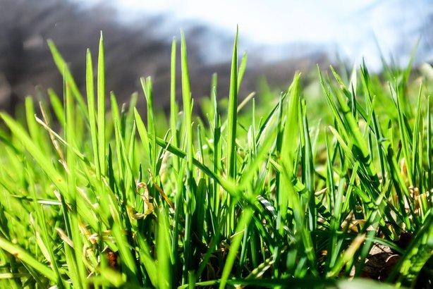 growing grass in yard