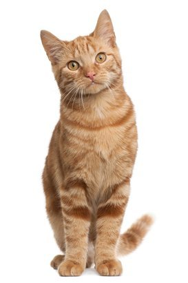 ginger mixed breed cat