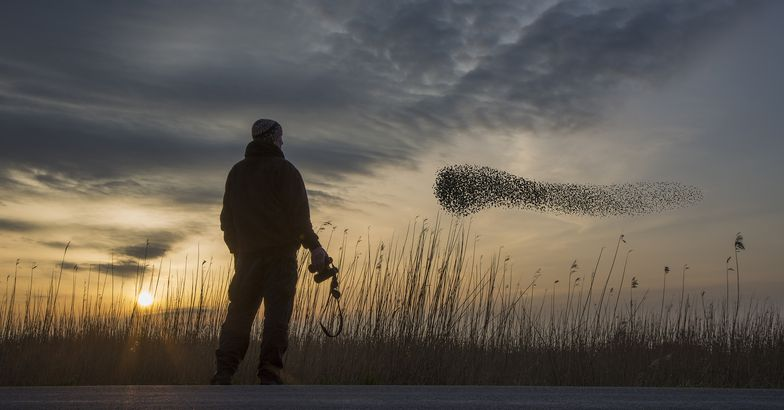 man watching a flock of migrating starlings