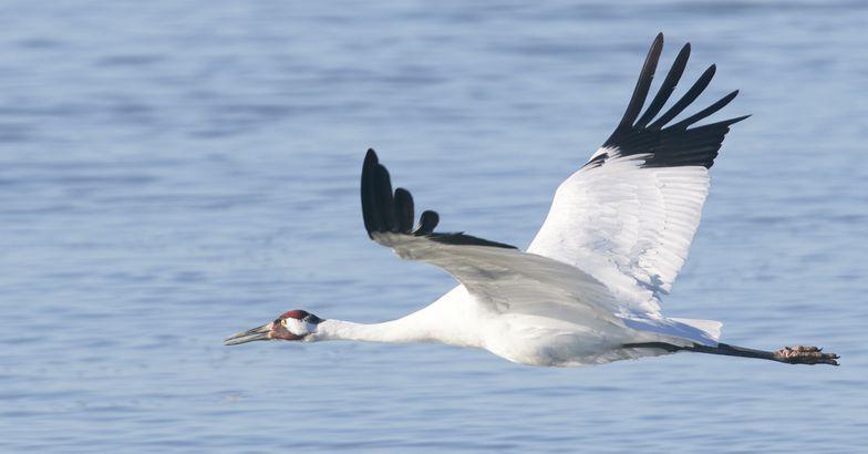 Whooping Crane in flight, Aransas National Wildlife Refuge, Texas