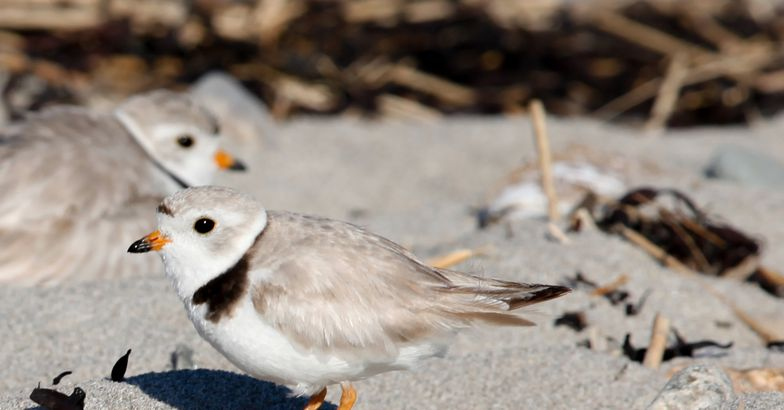 adult pair of Piping Plovers, Cape May, New Jersey