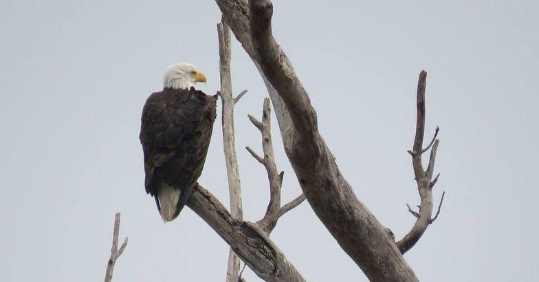Bald Eagle perched in tree, Ottawa National Wildlife Refuge, Ohio