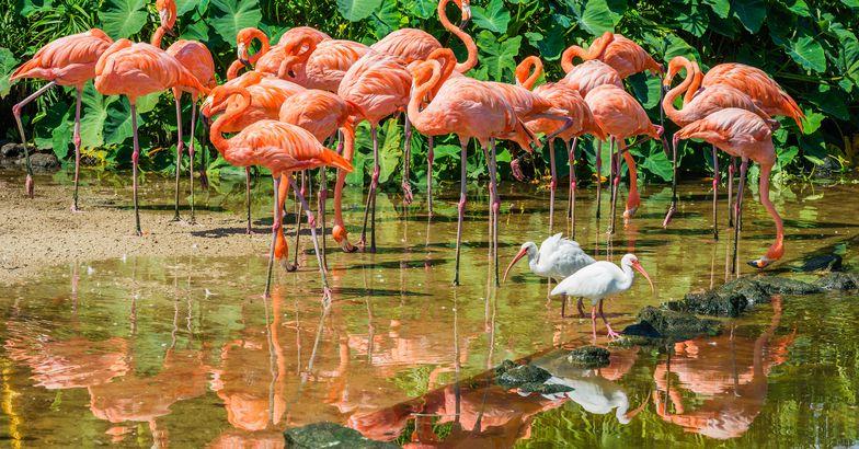 White Ibis and Flamingos, South Florida