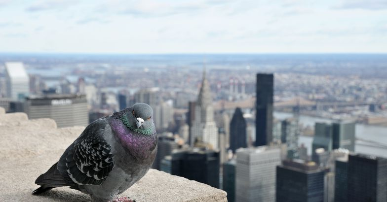 pigeon on top of building with New York City cityscape in the background