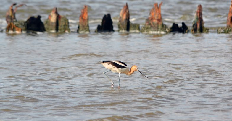 Avocet walking in water along the shore of Texas's Gulf Coast