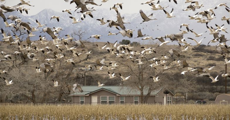 thousands snow geese sandhill cranes flying over home, Central New Mexico