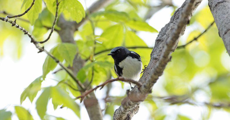 Black-Throated Blue Warbler, Magee Marsh Wildlife Area, Ohio