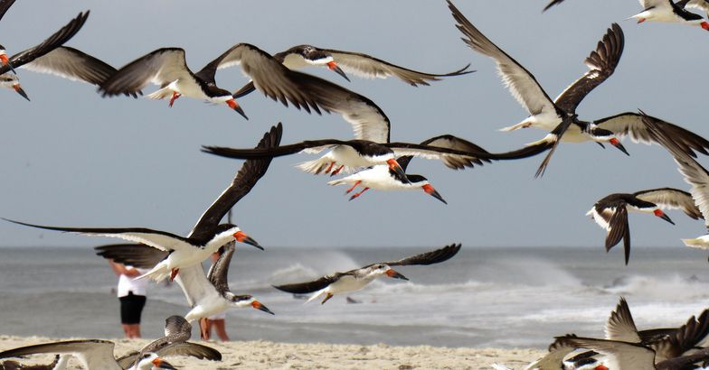 Cape May Seagulls flying, Cape May, New Jersey