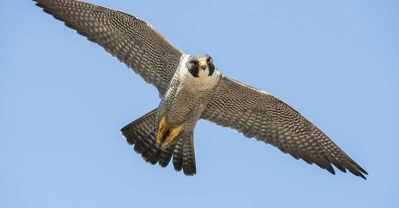 Peregrine Falcon flying, Acadia National Park