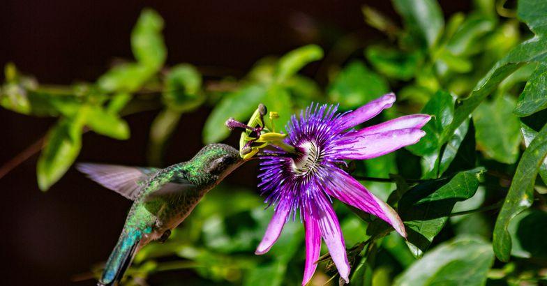 Hummingbird feeding on flowers, Arizona