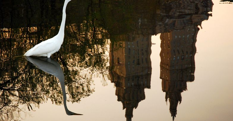 Egret in a Central Park pond with cityscape in water reflection
