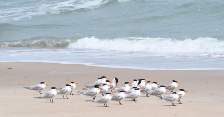 shore birds along coast of Cape Canaveral, Florida
