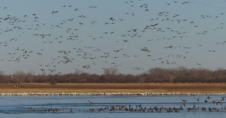 large flocks of geese, sandhill cranes, ducks, and shorebirds, Quivira National Wildlife Refuge, Kansas