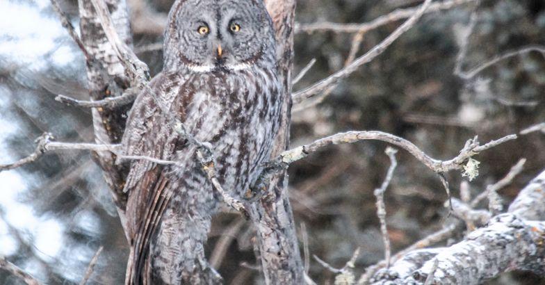 Great Gray Owl, Sax-Zim Bog