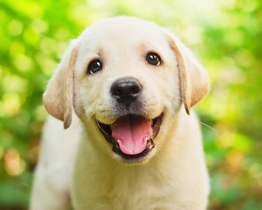 Labrador Retriever puppy in the yard