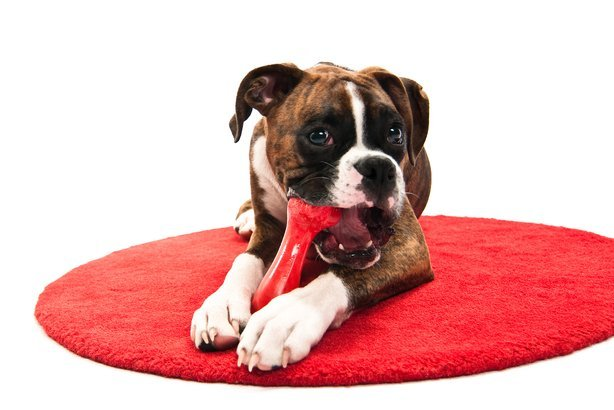 Boxer puppy chewing toy on red rug