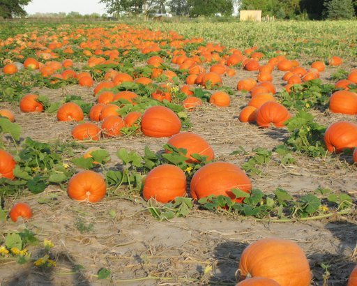 Pumpkin Farm in Saginaw, Michigan