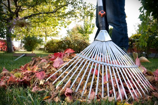 raking fall leaves in yard
