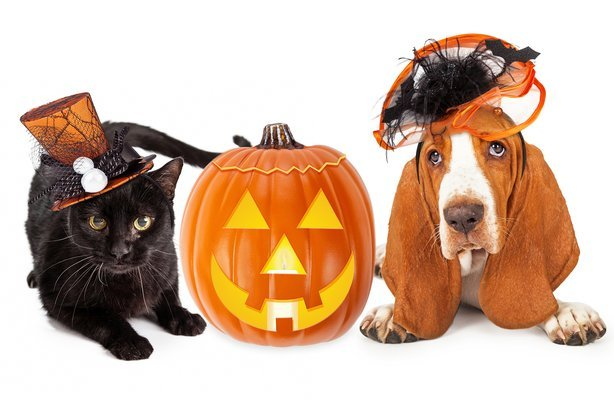 black kitten and Basset Hound dog wearing funny and fancy Halloween hats with jack-o-lantern