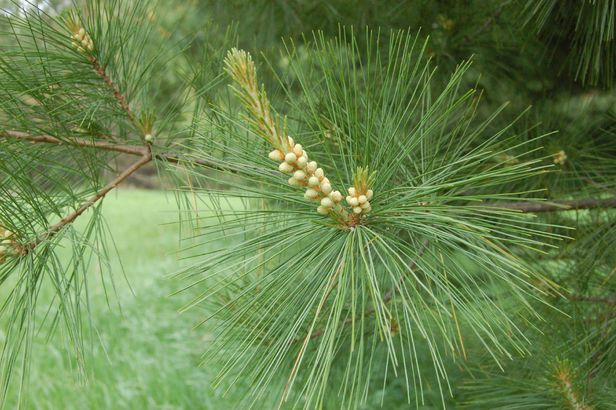 White Pine Cone and Tassel