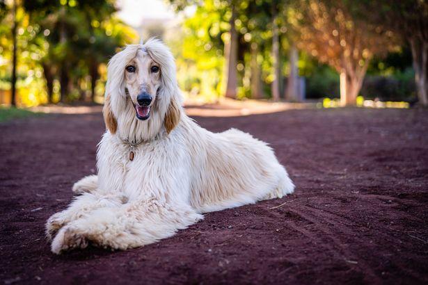 Afghan Hound hypoallergenic dog