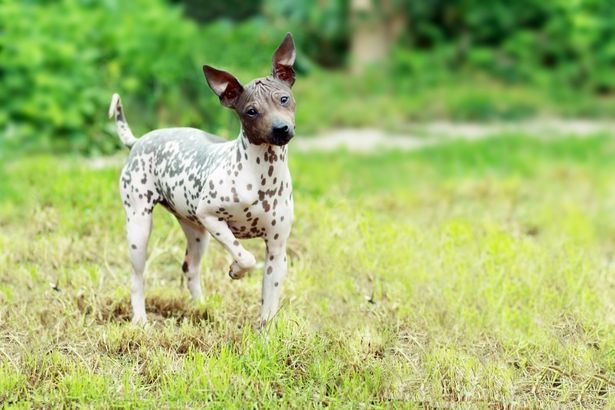 American Hairless Terrier hypoallergenic dog