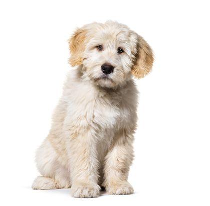 Barbado da Terceira puppy