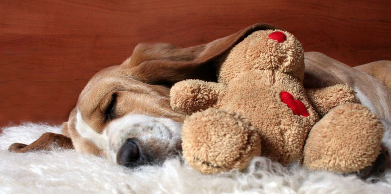 Basset Hounds dog