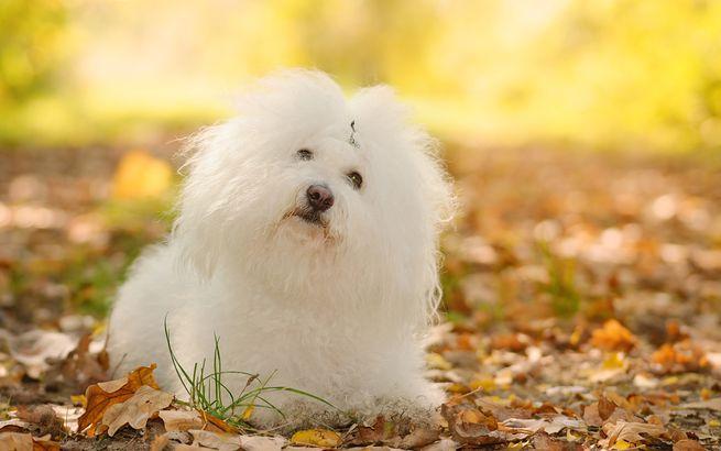 Bolognese hypoallergenic dog