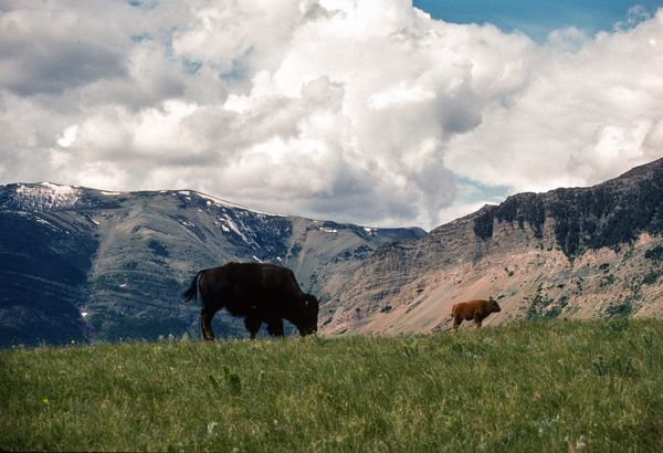 Buffalo in Glacier National Park