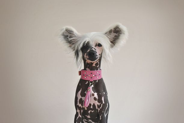 Chinese Crested hypoallergenic dog