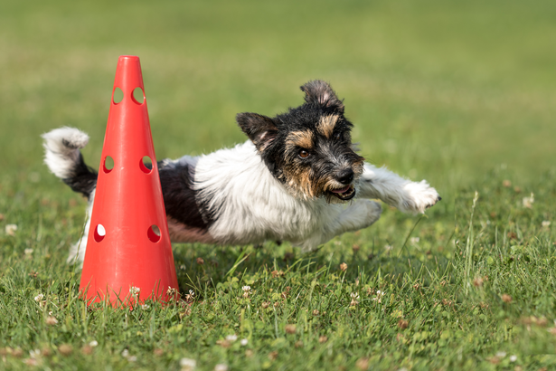 Dog running around a cone outside