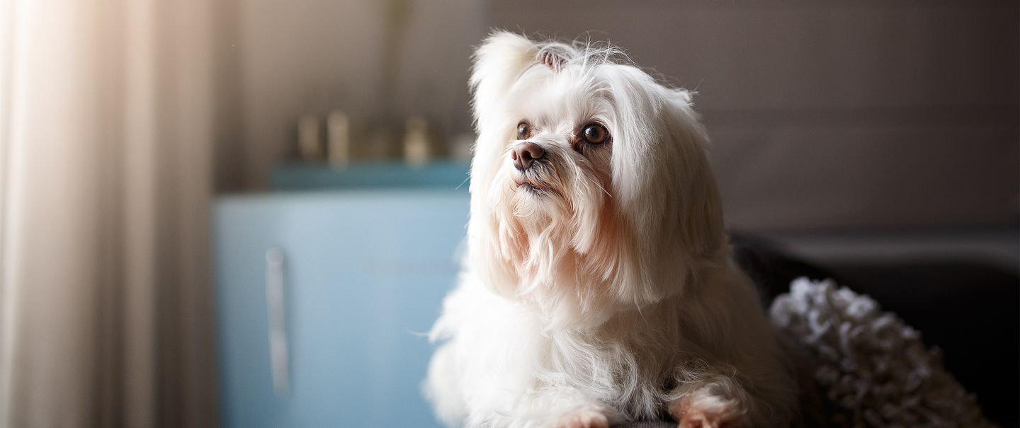 Dogs That Don't Shed | 30 Beautiful Non-shedding Breeds | Cheapism.com