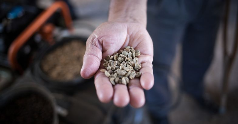 frank camacho inspects his coffee harvest in puerto rico