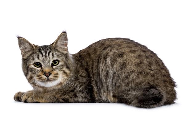 Weird Cat Breeds You Won T Believe Cheapism Com