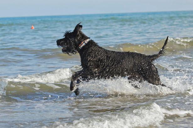Giant Schnauzer hypoallergenic dog