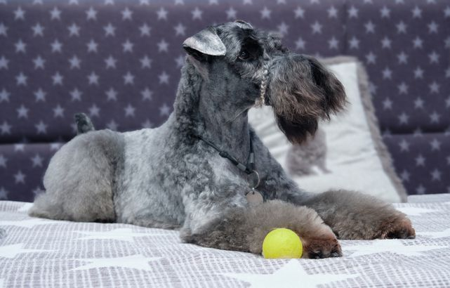 Kerry Blue Terrier hypoallergenic dog