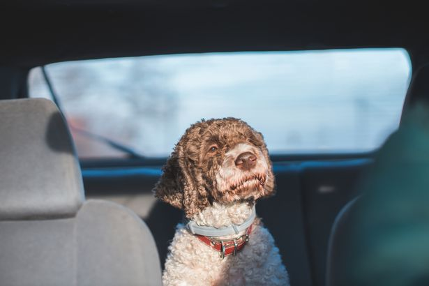 Lagotto Romagnolo hypoallergenic dog