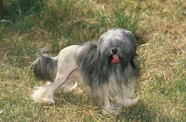 Löwchen hypoallergenic dog