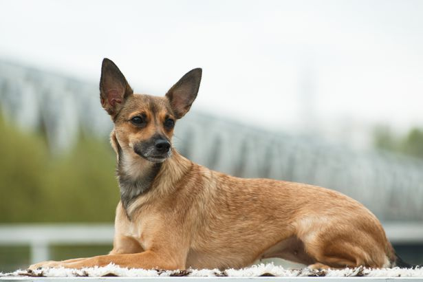 Peruvian Inca Orchid hypoallergenic dog