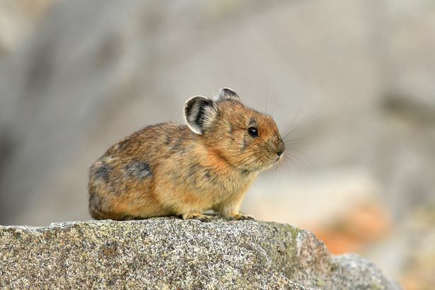 Pika in Logan Pass in Glacier Park