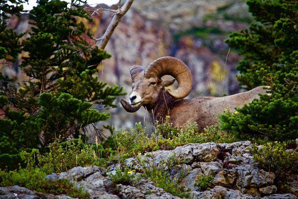 Rocky Mountain Bighorn Ram overlooks Pine Forest