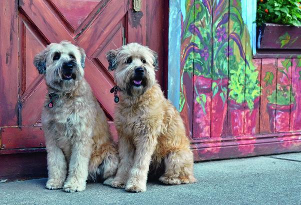 Soft Coated Wheaten Terrier hypoallergenic dog